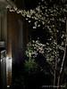 I made Dan take this night shot of Tai-haku cherry.  Evergreen is an oak leafed holly.