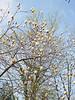 Golden magnolia, Hesperides.