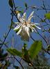 Star magnolia, hellebore walk