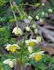 Epimedium, Secret Garden