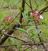 Fragrant viburnum, hellebore walk