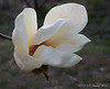White magnolia, Hesperides