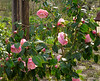 Camellia by Dan's studio.