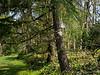Upper Hellebore Walk: deodar, Stachyurus, star magnolia, and of course, hellebores.
