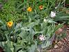 Tulip, Courtyard