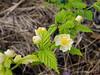 """White"" Kerria japonica ex Dancing Oaks"