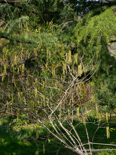 Stachyurus, straight sp, shot from above @ top of the bank.