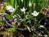 Tulip humilus 'Alba Coerulea Oculata', S hesperides terraces