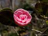 April Dawn camellia, E of guest room