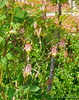 Columbine, S of library. Pinnate leaf is Sorbaria.