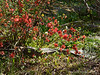 Quince, N pond