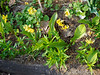 """Erythronium Pagoda, 3rd Hesperides terrace.  Foliage in front is """"annual"""" Dianthus;  in back is (the weed) Henbit."""