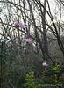 Cosmic Gem magnolia, Hesperides