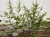 Deutzia.   Why I planted a white flower against a white wall.... only G-d knows.