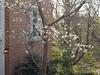 Tai-haku cherry by kitchen porch/library.  Also oak leaf holly, pine, White Doyenne pear.