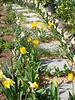 Daffodils, tulips, hellebores, Gravel Walk/Third Hesperides Terrace