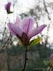 Magnolia (Cosmic Gem?) Hesperides, twilight.