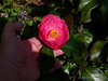 Camellia under Corylopsis, courtyard