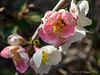 Flowering quince 'Cameo'