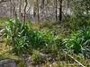 Lycoris foliage, Hesperides