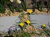 Species tulips in gravel walk; Muscari in foreground