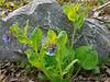 Va. bluebells, Hesperides lawn edge