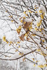 Golden Chimonanthus outside S door, 1/31/21