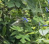 Hummer on Salvia