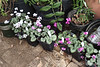 G'house...Cyclamen coum ex G.G. waiting to be planted now the cold snap is over.