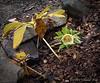 Yellow hellebore under De V japanese maple.