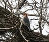 Male redbellied woodpecker