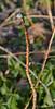 Edgeworthia ex MW, one little bud, but the bush will grow.