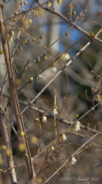 Chimonanthus in middle of courtyard