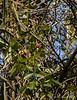 Freeze dried rosebud up Edith Bogue magnolia, 1/14/21