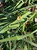 Daffodil, unknown, 1/7/2021