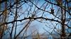 Prickly ash thorns, courtyard