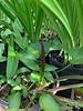 Arum labeled purpureospathum, g'house