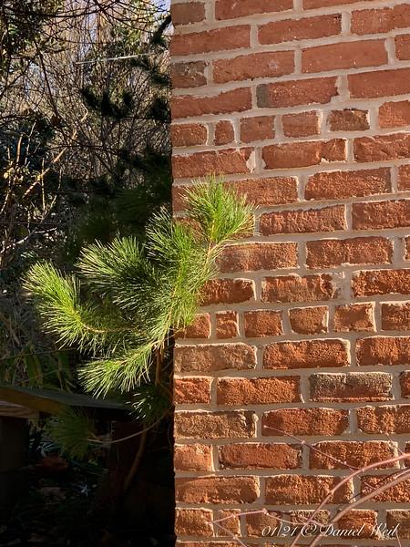Chinese pine, peking around the corner