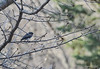 Black-eyed Junco, also known as a Snowbird, as it portends the coming of snow.