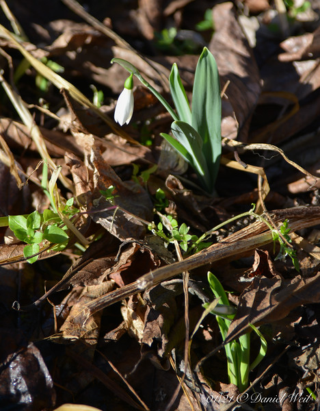 Unknown snowdrop, N of shade room