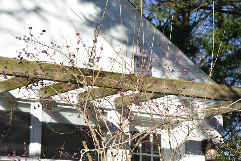 Beautyberry in front of Dan's studio