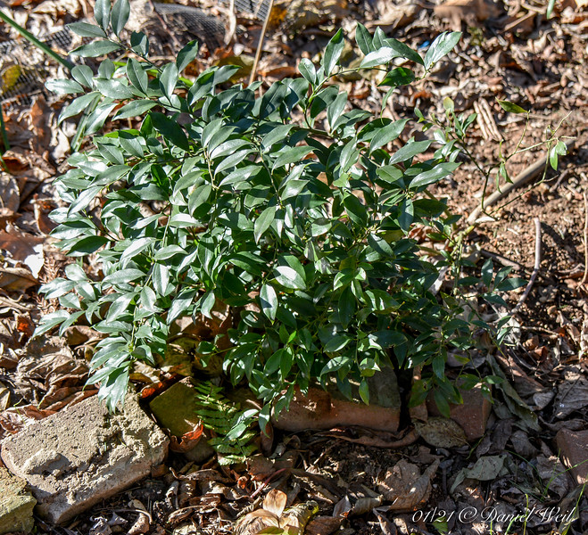 Sarcococca confusa, Crater, planted a month ago, let us pray.