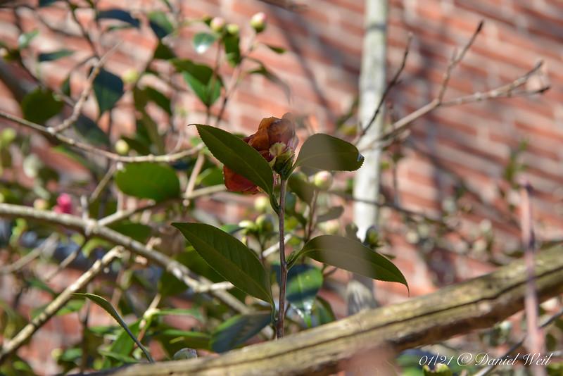 Freezer burned camellia E of dining room.  Sporadic bloom from Dec through April.