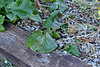 Ligularia/Farfugium ex Pam H, highway bed
