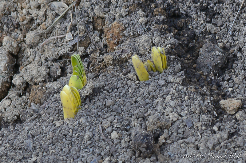 Daffodils or possibly lycoris coming up amid the destruction of the Winding Walk