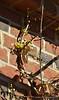 Golden Chimonanthus, by S door