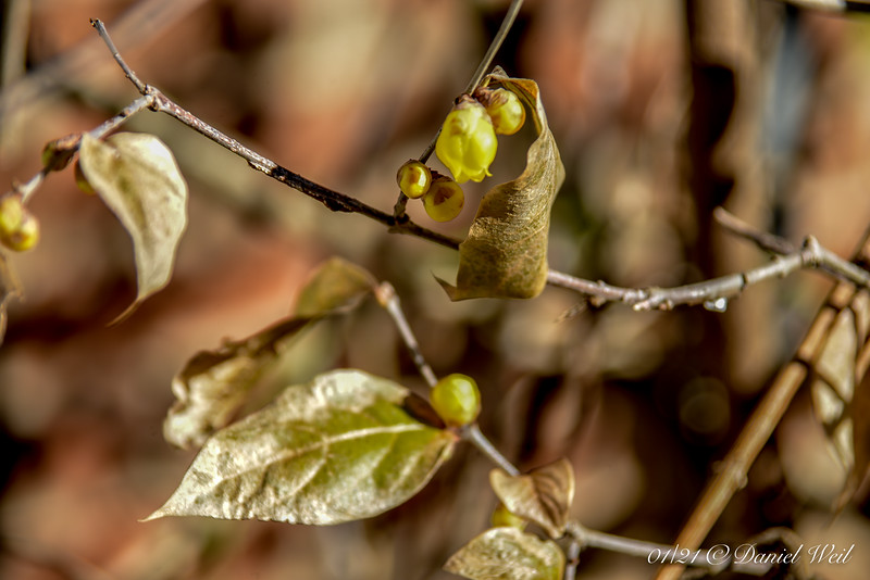 Golden Chimonanthus by S door, courtyard.  It is NOT evergreen; the leaves are freeze dried and quite crispy.