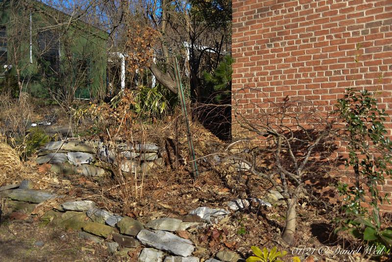 Garage corner.  Osmanthus heterophyllus, lower R, finally winning above the Japanese maple.