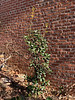 Osmanthus heterophyllus, starting to grow after sitting there two years.  By garage door.  Other tree is Japanese maple ex DeV.