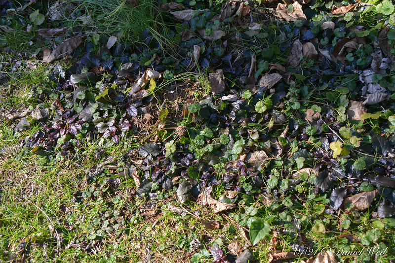 """Ajuga invading """"lawn"""".  Hope to re-set a lot of it.  Never thrives where I WANT it...."""
